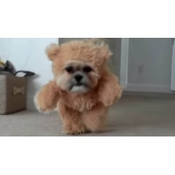 Teddy Bear Dogs