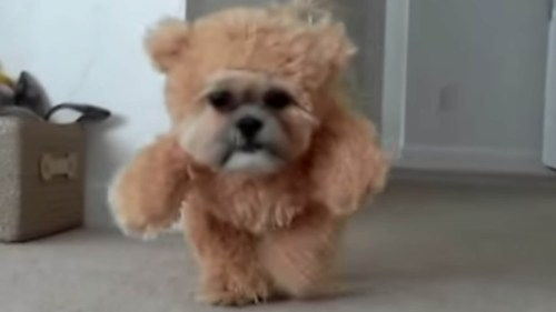 Medium Of Teddy Bear Dogs