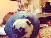 Pug dressed as 'Wrecking Ball' in running for $25,000 ...
