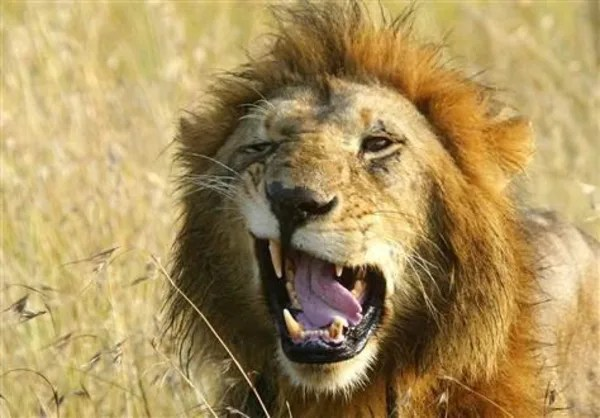 Singam 3 Hd Wallpaper Male Lions Do Help With The Hunting After All Nbc News