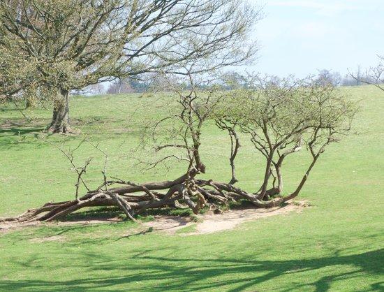 Walk in Knole Park, Kent