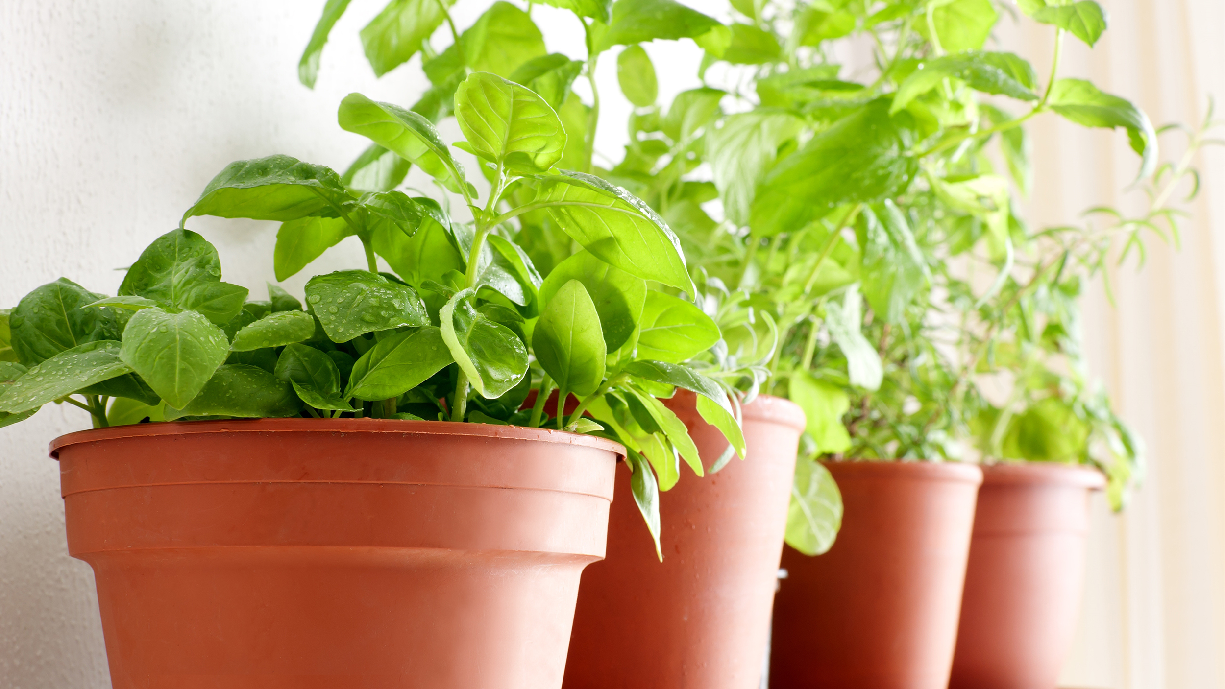 Herbs Pots Indoors How To Grow Herbs When To Water How Much Sunlight More