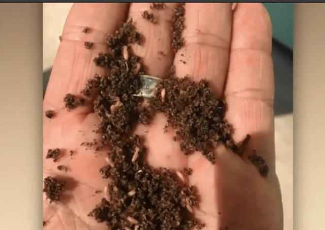 Invasive Species Of Termites Spreading In Palm Beach