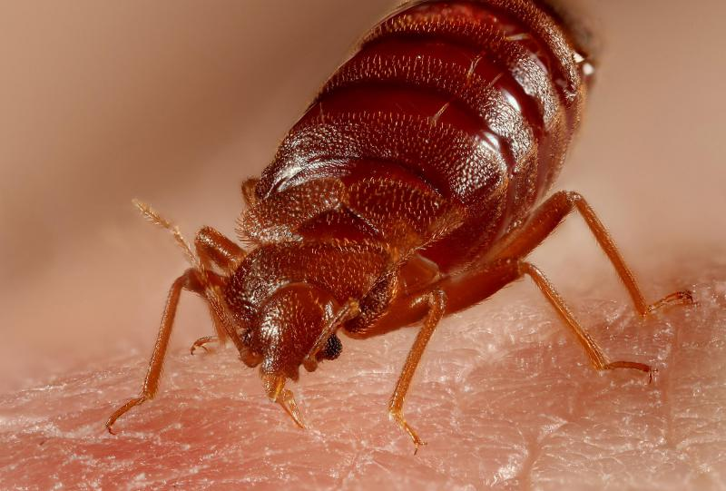 Bed Bugs Are On The Rise In Kansas City KCUR