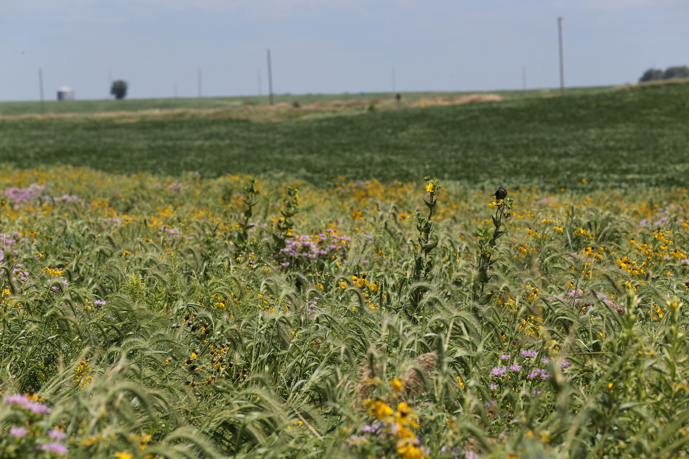 Iowa State Farmhouse Strips Of Native Prairie Plants Could Reduce Pollution