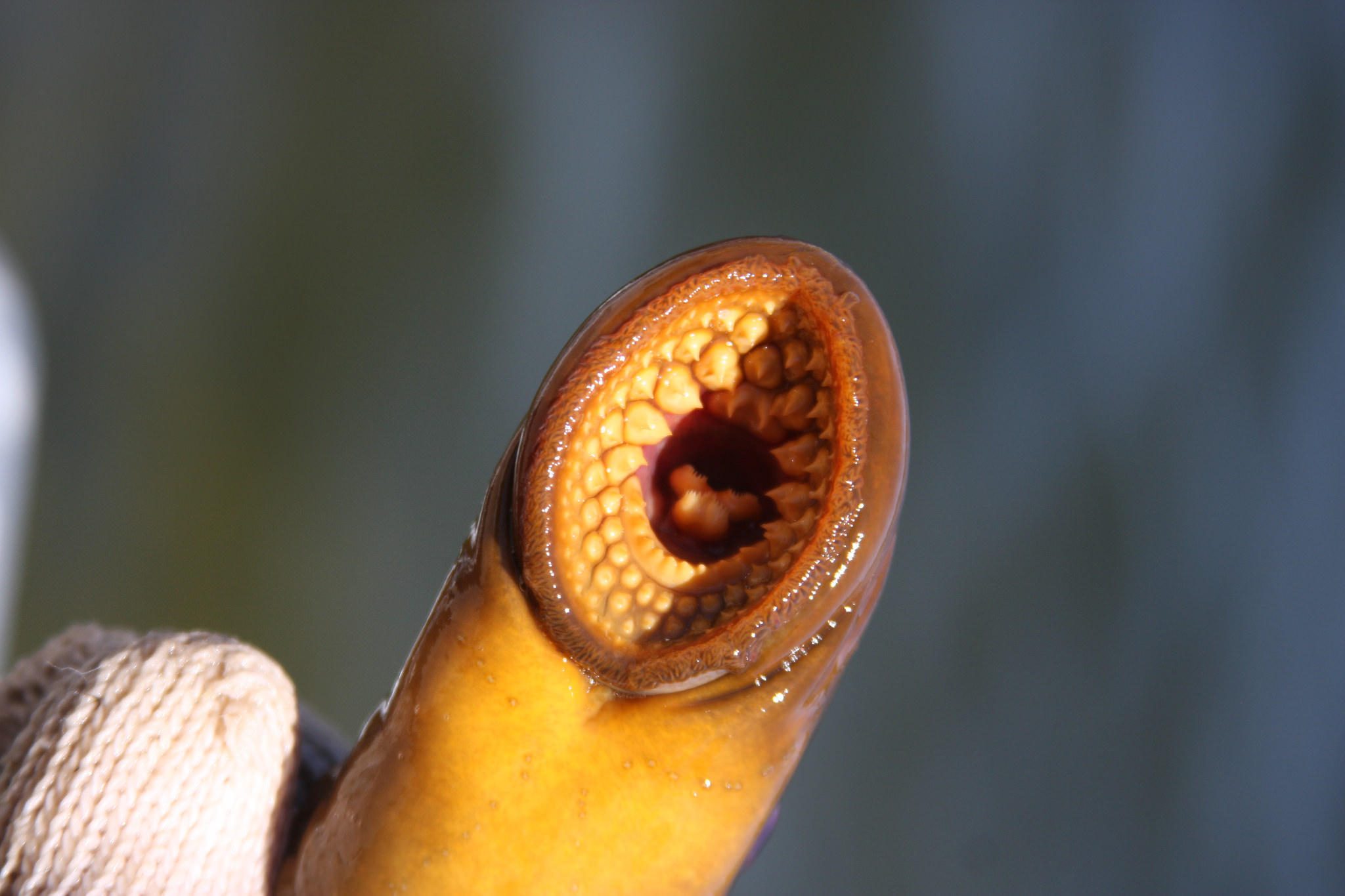 Sea Lamprey Bite Scientists Plan New Type Of Attack Against Sea Lampreys Michigan