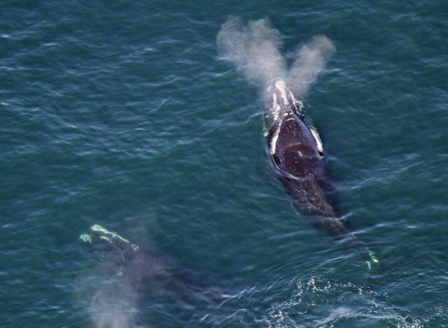 Right Whales Are Back, and Here\u0027s Where You Can See Them from the