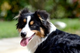 Gipsy, chien-mediateur berger australien
