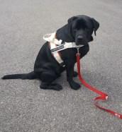 Lizou, chien-mediateur Labrador, ex-chien-guide.