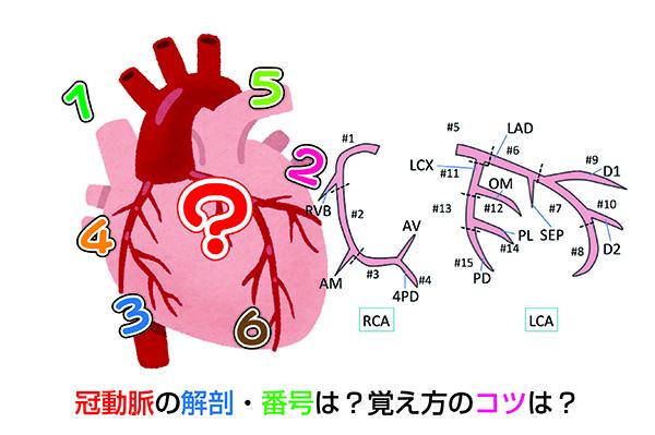 冠動脈の解剖・番号