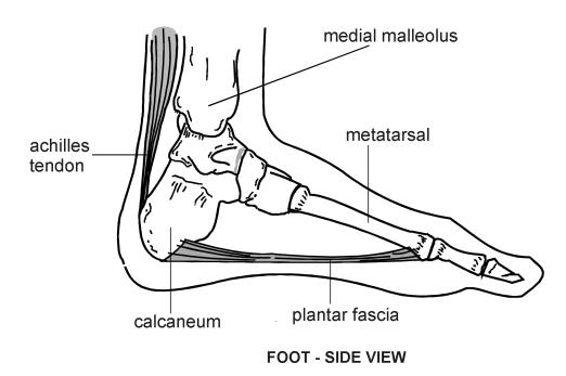 organ diagram foot pain