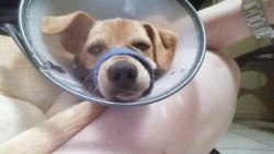 Carson, Lab Mix Puppy