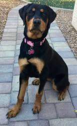 Piper, Rottweiler Puppy