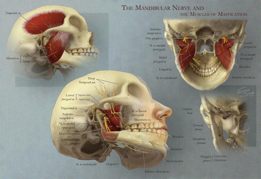 Mandibular Nerve and the Muscles of Mastication \u2013 Art as Applied to