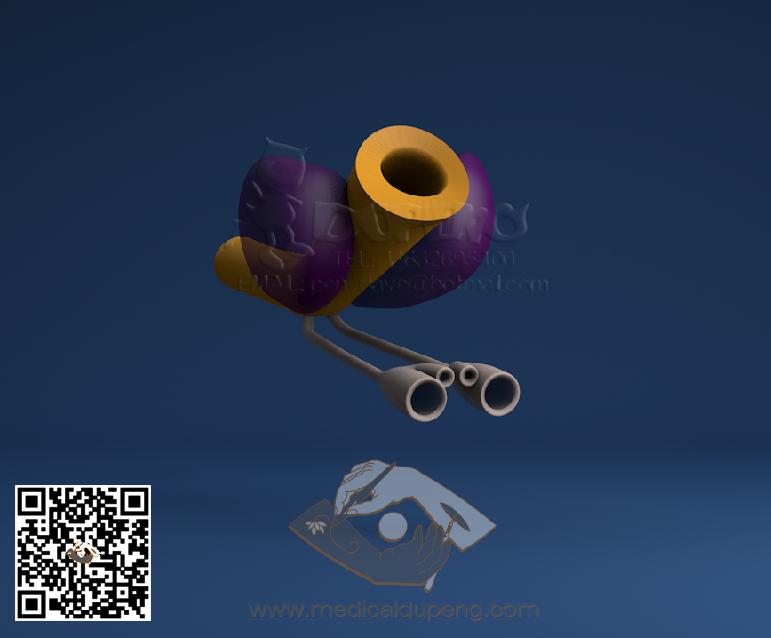3D model of the prostate rendering