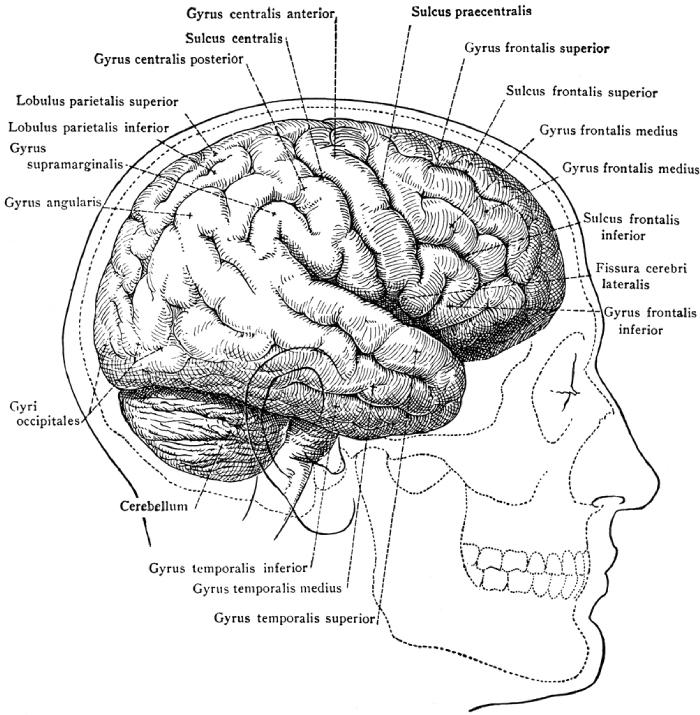 diagram of inside of skull