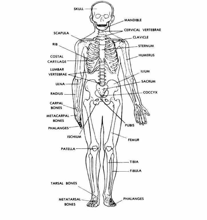 unlabeled human anatomy diagrams