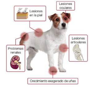leishmaniasis en perros: Síntomas