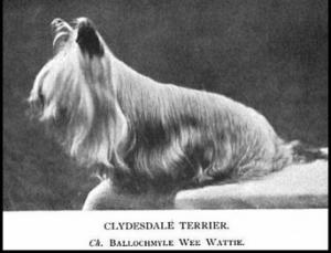 historia yorkshide terrier