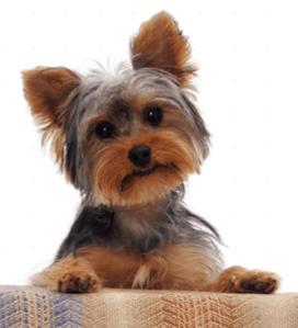 personalidad yorkshide terrier