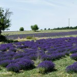 Provence -Lavender fields