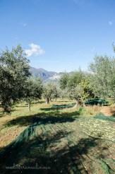 olive harvest 14