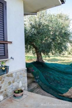 olive harvest 6