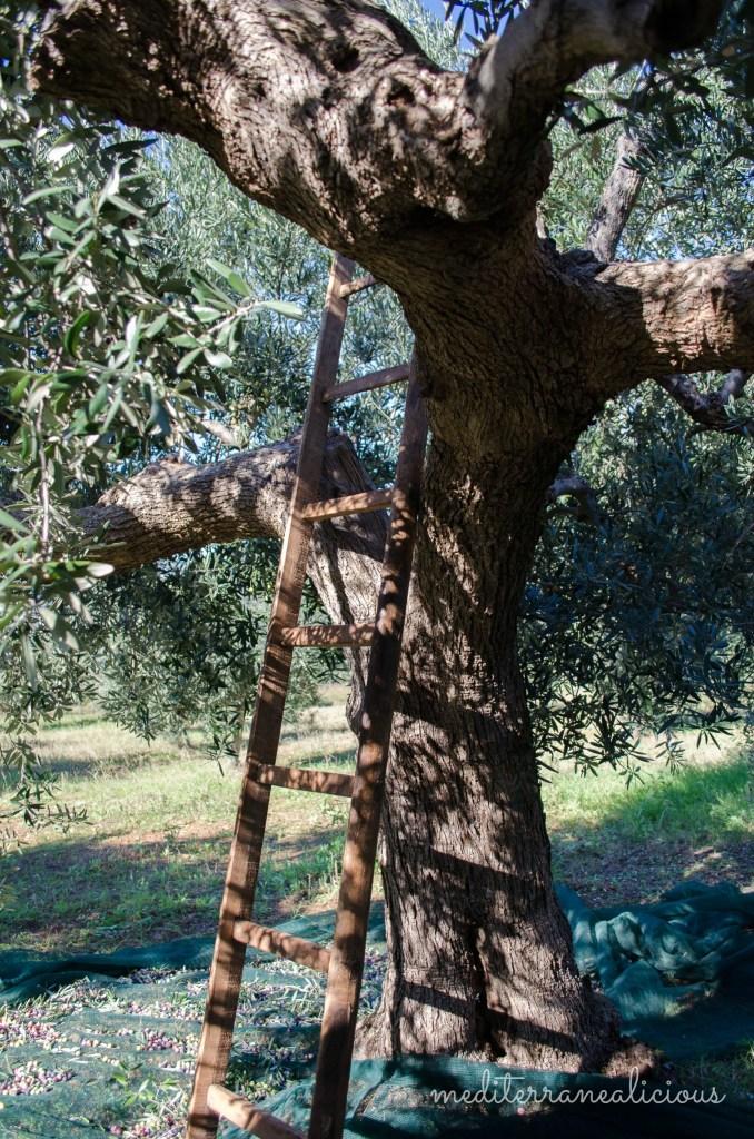 olive tree 2