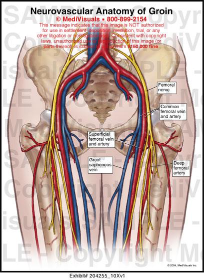 Groin Bones Diagram Wiring Schematic Diagram