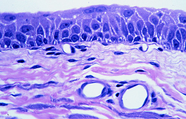 HLS  Epithelial Tissue, Surface Specializations, and Glands