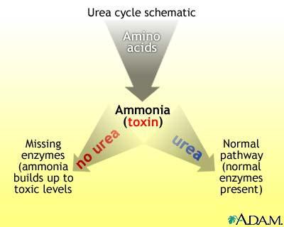 Urea cycle MedlinePlus Medical Encyclopedia Image - urea cycle