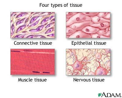 Tissue types MedlinePlus Medical Encyclopedia Image
