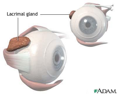 Lacrimal gland anatomy MedlinePlus Medical Encyclopedia Image