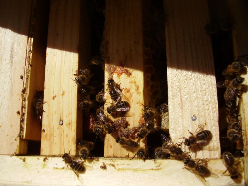 пчелы в улье Костромском