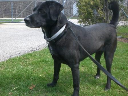 Black Retriever Labrador