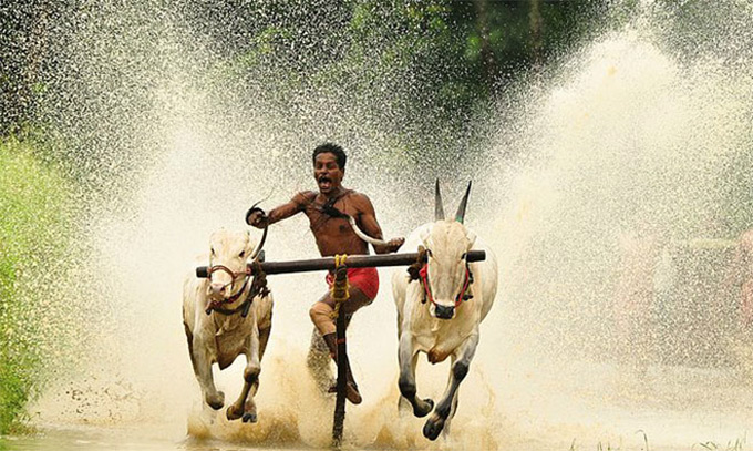 Declination: India's Maramadi Bull Surfing Festival :: Adventure Journal