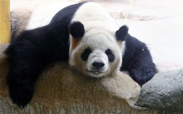 potd-panda_2911972b