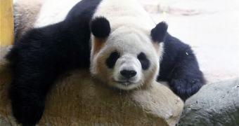 Panda pode ter fingido gravidez para receber tratamento diferenciado na China