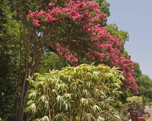 Crepe Myrtles in botanical garden.