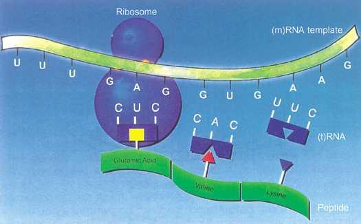 Lilly\u0027s rDNA Insulin