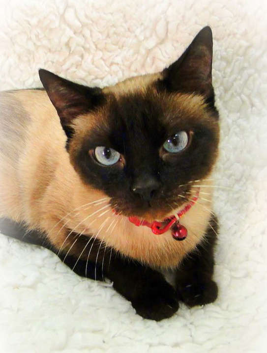 Purebred Cat Rescue Sacramento