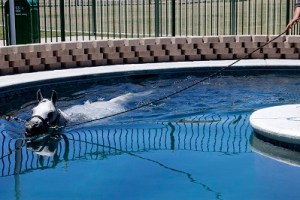 All the Arabian show horses get a daily exercise swim.