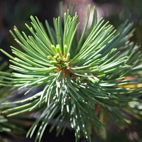 Forest Service proposes whitebark pine plantings