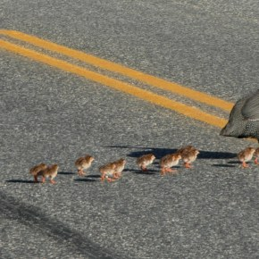 A mama guinea fowl and her brood crossing the East County Road on Oct. 14. Photo by Jim Oswald