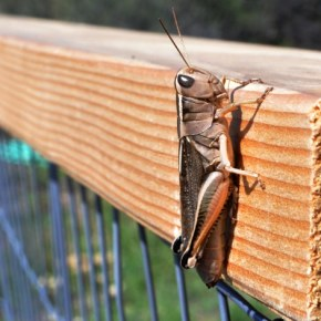 Grasshopper on Libby Creek. Photo by Sue Misao