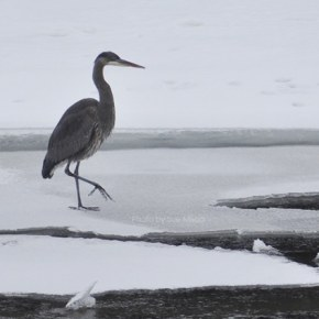 Great blue heron at Beaver Ponds south of Twisp. Photo by Sue Misao