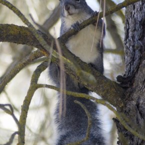 State protections continue for threatened squirrels, owls