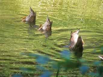 Young ducks on Spiwak Pond. Photo by Bob Spiwak