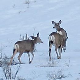WDFW will be giving deer some extra food this winter to protect orchards near Pateros