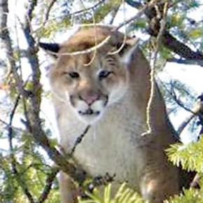 Cougar sightings scarce this winter